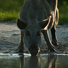 Wild Boar drinking from a puddle. Bio Lab Road Merritt Island National Wild Life Refuge