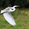 A Great Egret in flight over the wetlands of Ridgefield National Wildlife Refuge