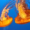 Common Name: Lion's Mane Jellyfish<br /> Kingdom: Animalia<br /> Phylum: Cnidaria<br /> Class: Scyphozoa<br /> Order: Semaeostomeae<br /> Family: Cyaneidae<br /> Genus: Cyanea<br /> Species: C. capillata