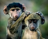 Juvenile Baboons, Award Winner: Natures Best Photography 2010 Windland Smith Rice International Competition