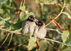 Red-eyed Bulbuls