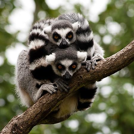 Ring-tailed Lemurs, Givskud Zoo, Denmark