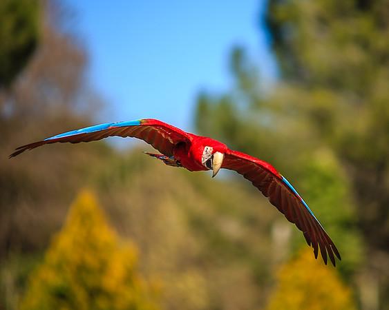 Red and Green Macaw (Ara Chloropterus)