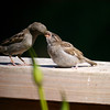 House Sparrow feeding a Cow Bird, which will look like a Sparrow for a few months