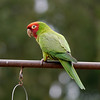 "Red-masked Parakeet aka Red-headed Conure, one of the famous ""Wild Parrots of San Francisco"""