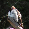 Northern Flicker poses for us, and carries it off