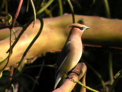 Cedar Waxwing is happy just being a Cedar Waxwing