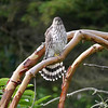 juvenile Cooper's Hawk, waiting to enjoy the pigeon sushi we've made available