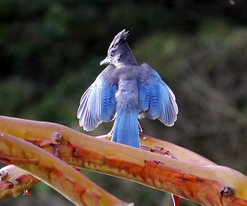 Steller's Jay thinks he's a Phoenix