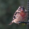 juvenile male Rose-breasted Grosbeak,  a  rare visitor from the East.