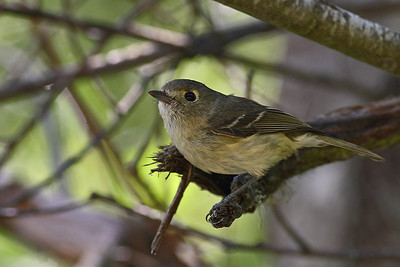 Hutton's Vireo  400mm f5.6L