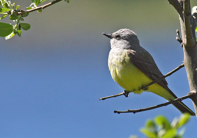 Western Kingbird 400mm f5.6L
