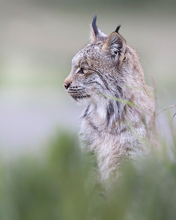 This photograph of a Lynx was captured one evening near the Savage River Bottom area of Denali National Park in Alaska.  I heard some birds making a ruckus over something in the willows and went over to investigate.  Lo and behold I saw this Lynx doing snowshoe hare surveillance of the area.  I crouched down and was able to get off two shots before he left (6/09).  This photograph is protected by the U.S. Copyright Laws and shall not to be downloaded or reproduced by any means without the formal written permission of Ken Conger Photography.