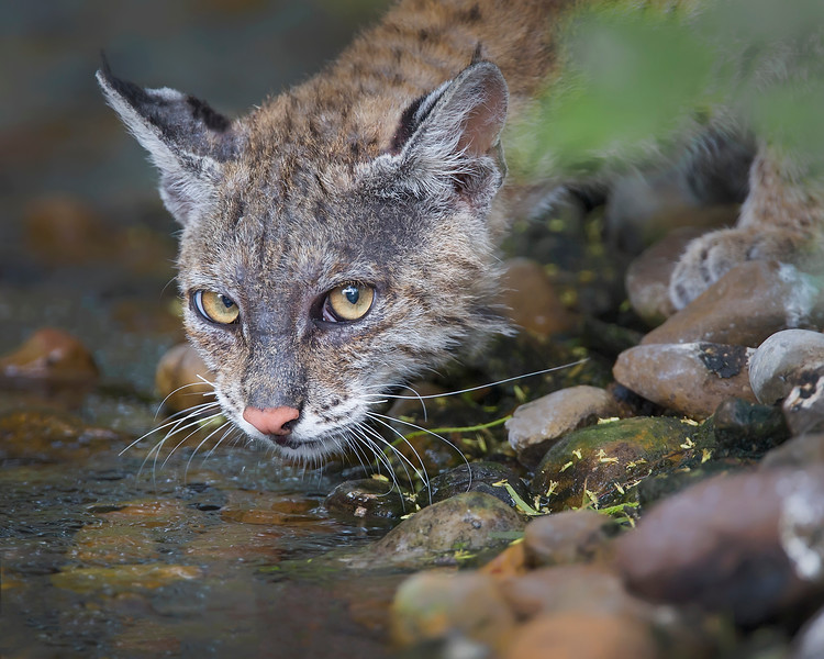 This photograph of a Bobcat was captured in Laguna Atascosa National Wildlife Refuge, near Rio Hondo, Texas (4/11).       This photograph is protected by the U.S. Copyright Laws and shall not to be downloaded or reproduced by any means without the formal written permission of Ken Conger Photography.