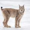 "I have been blessed with a number of incredible wildlife experiences in my life, seeing this Lynx was in the top 10.  It is a special experience to see one, let alone photograph it at such a close proximity. The Lynx photograph was captured in Denali National Park, Alaska (5/10).     <font color=""RED""><h5>This photograph is protected by the U.S. Copyright Laws and shall not to be downloaded or reproduced by any means without the formal written permission of Ken Conger Photography.<font color=""RED""></font></h5></font>"