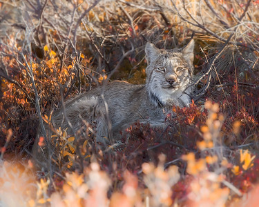 This photograph of a Lynx was captured this fall morning along the park road within Denali National Park, Alaska   (9/09).  This photograph is protected by the U.S. Copyright Laws and shall not to be downloaded or reproduced by any means without the formal written permission of Ken Conger Photography.