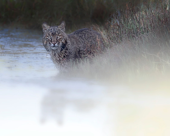 This photograph of a Bobcat was captured in Merritt Island National Wildlife Refuge, Florida (2/13).  This photograph is protected by the U.S. Copyright Laws and shall not to be downloaded or reproduced by any means without the formal written permission of Ken Conger Photography.