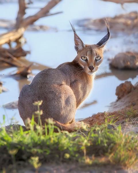 Samburu Caracal