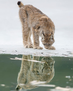 I have been blessed with a number of incredible wildlife experiences in my life, seeing this Lynx was in the top 10.  It is a special experience just to see one, let alone photograph it at such a close proximity. The Lynx photograph was captured in Denali National Park, Alaska (5/10).     This photograph is protected by the U.S. Copyright Laws and shall not to be downloaded or reproduced by any means without the formal written permission of Ken Conger Photography.