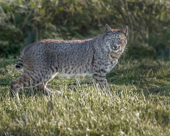 Bobcat in Point Reyes National Seashore, Califormia