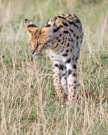 Masai Mara Serval Cat