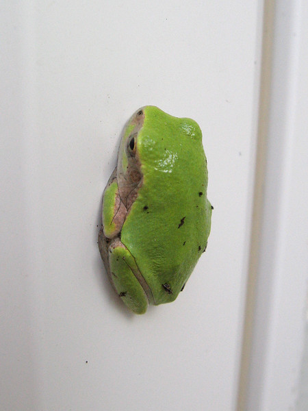Thumbnail sized green frog on widow frame.