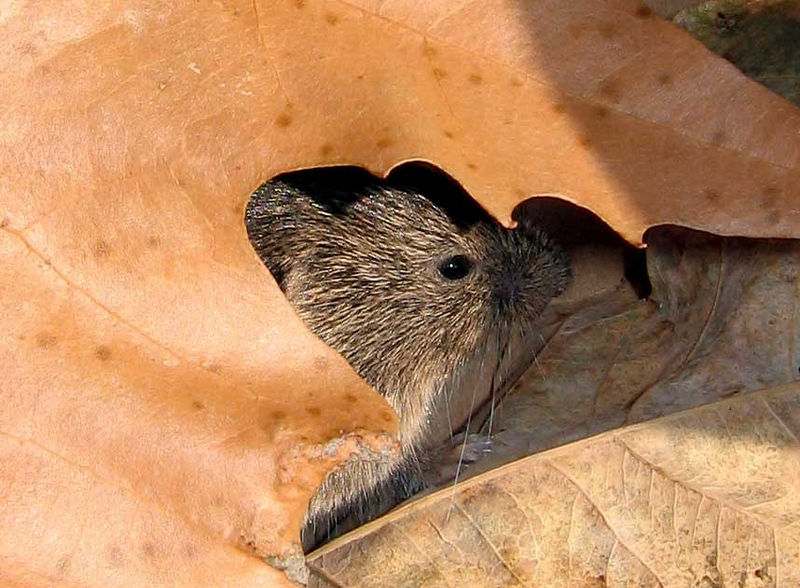 "I have always called these little creatures ""voles"" (whether they really are, I don't know). This one had gotten into the window well and couldn't get back out so I helped it out. I got only a few photos and these two are the only ones worth posting. This was on a warm January day."