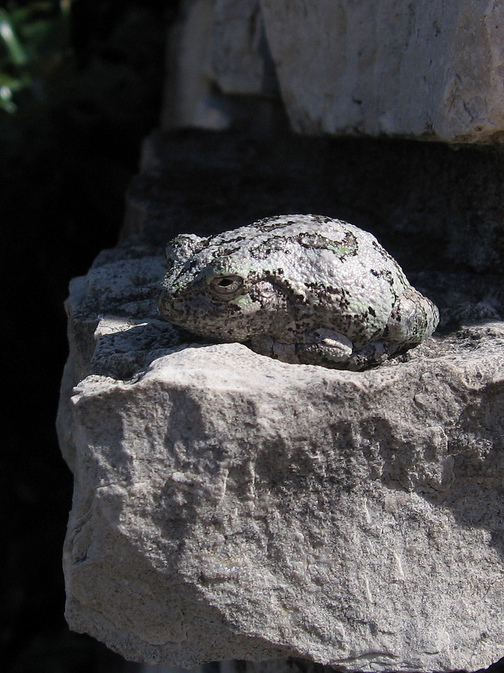 Frog on the stone wall.