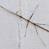 Stick insect, Murray Grove