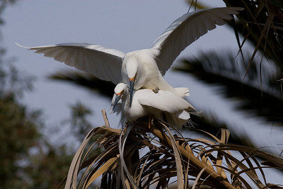 "Snowy Egrets doing the ""WooPee Dance"""