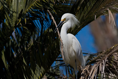 Snowy Egret with nesting stick