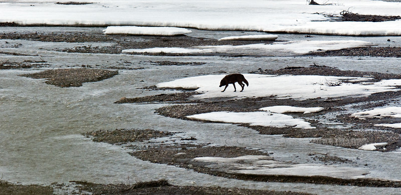 Wolf, Gray 2011.5.29#261. From the East Fork pack. Teklanika River, Denali Park Alaska.