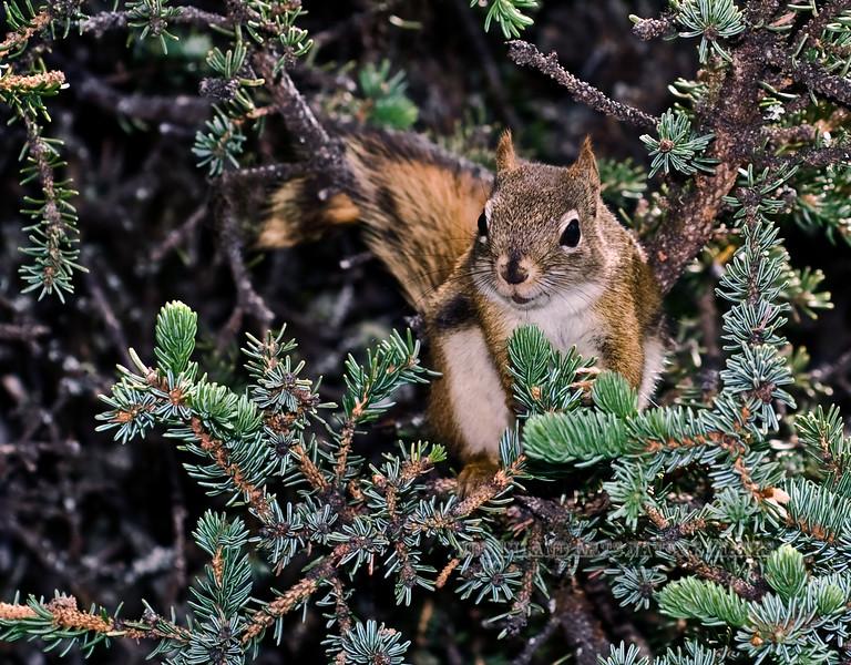 Squirrel, Red 2009.6.29#039. Scolds when we got too close to it's summer nest. Savage campground, Denali Park Alaska.