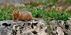 Squirrel, Ground, Arctic 2012.7.12#045. Atigun Pass, Brook's Range Alaska.