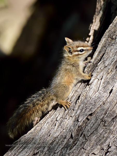 Chipmunk, Cliff 2018.5.3#526. North side Mingus Mtn, Yavapai County Arizona.