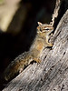 Chipmunk, Cliff. Yavapai County Arizona. #53.526.