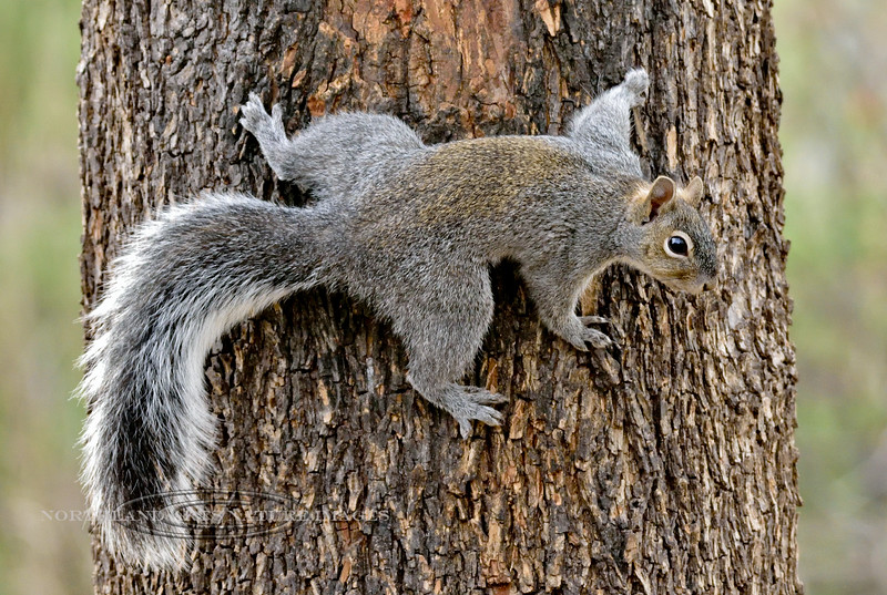 Squirrel, Arizona Gray 2018.3.22#1711. Patagonia, Arizona.