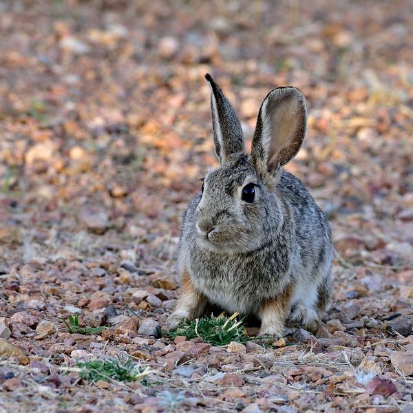 Rabbit, Mountain Cottontail 2018.4.12#2350.2. Near Tombstone Arizona.