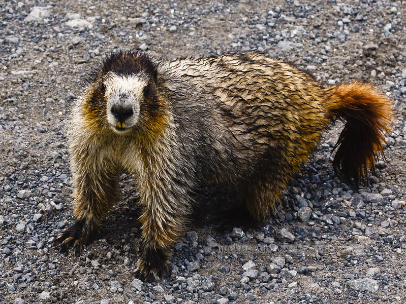 Marmot, Hoary 2013.7.26#027. Hatcher Pass, Talkeetna Mtn's, Alaska.