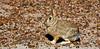 Rabbit, Mountain Cottontail 2007.3.2#078. Petrified Forest, Arizona.