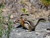 Squirrel, Golden-Mantled Ground 2018.7.2#445. Near Como Lake,  Bitteroot Mountains Montana,.