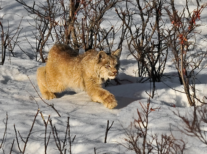 Lynx, Canadian 2009.4.28#237. Stalking a Snowshoe Hare. Mile 17, Denali Park Alaska.