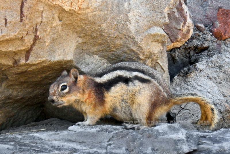 Squirrel, Golden-mantled Ground 2015.5.22#580. Near Cadomin Mine, Alberta Canada.