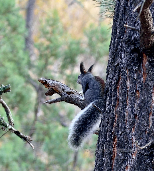 Squirrel, Abert's 2019.11.9#922. Gila Wilderness, New Mexico.