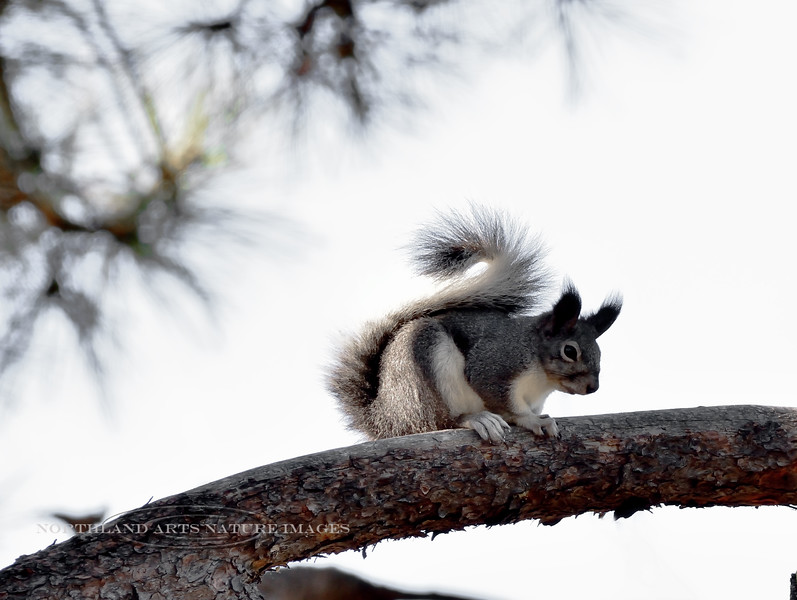 Squirrel, Abert's 2018.11.2#042. Mingus Mountain Arizona.