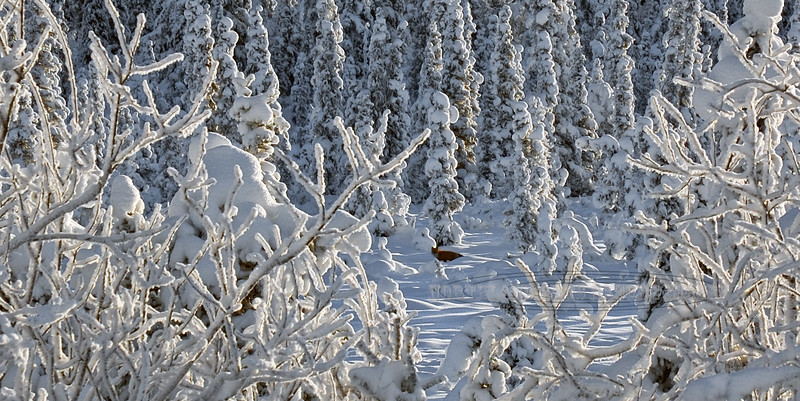 Fox, Red 2008.1.7#024. Lake Louise road, Nelchina Basin, Alaska.