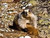 Marmot, Hoary Marmot. Grooms in the afternoon sun. Alaska Range, Alaska. #516.054.