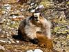 Marmot, Hoary Marmot. Grooms in the afternoon sun. Alaska Range, Alaska. #516.054.