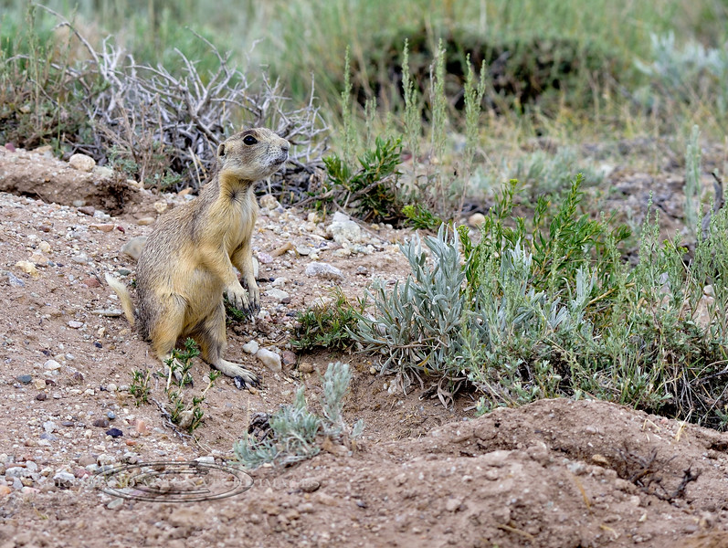 Prairie Dog, White-tailed 2018.7.7#3047. Wyoming.
