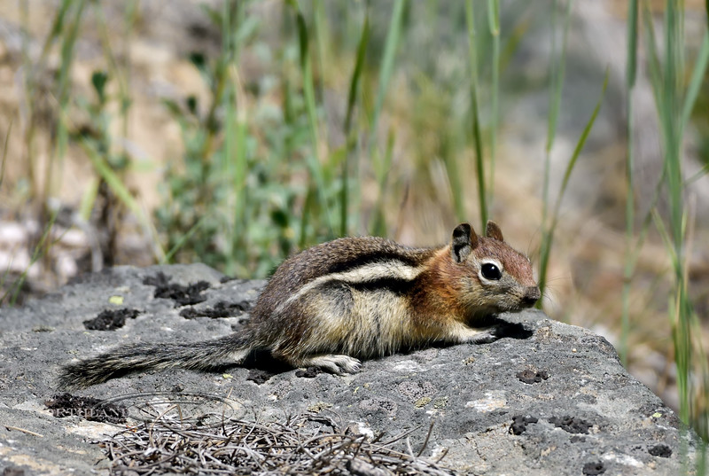 Squirrel, Golden Mantled Ground 2018.7.2#481. Near Como Lake,  Bitteroot Mountains Montana.